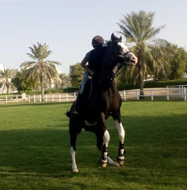 rearing stallion dubai riding horse learn