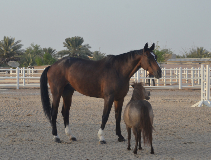 horse herd, executive leadership program, abu dhabi, ride to rescue, protecting, horse learning