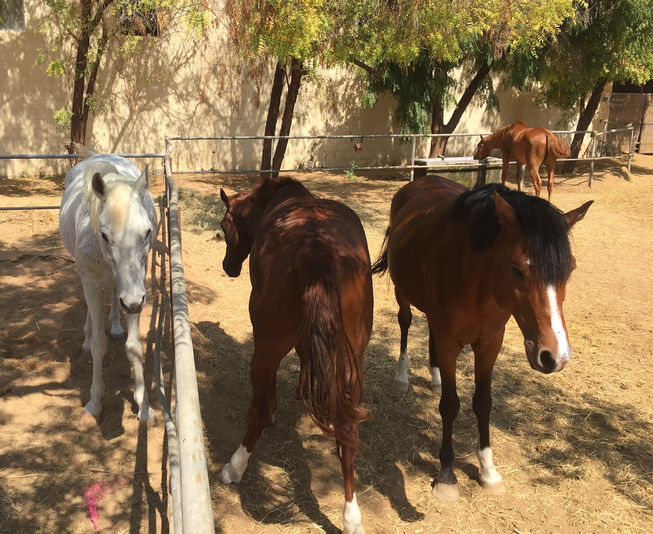 stallions, free horses, paddock, stable design