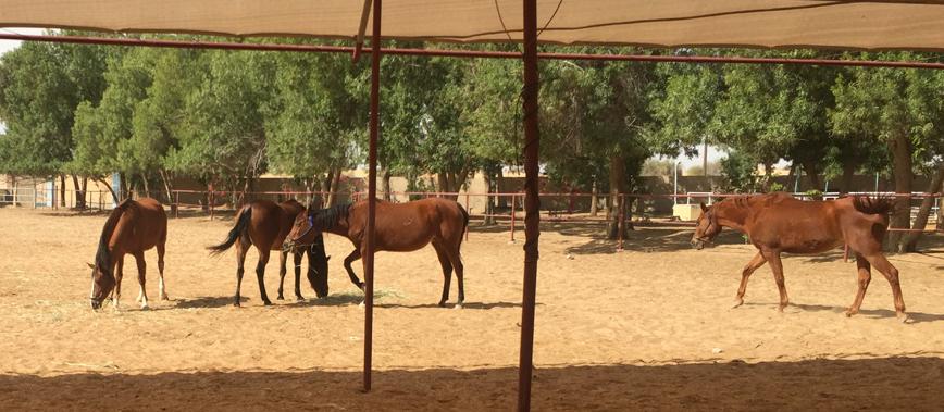 horse herd, uae, horse behavior, dubai, keep horses in herd, keeping horses outdoors, summer dubai horse